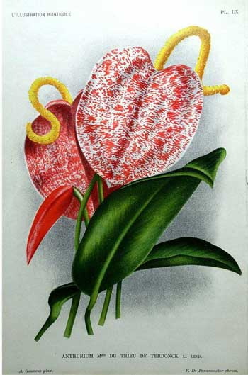 Anthurium / Flamingo flower, 1896