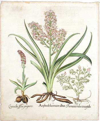 Asphodel, Spotted orchid & Spiked fumitory, 1613