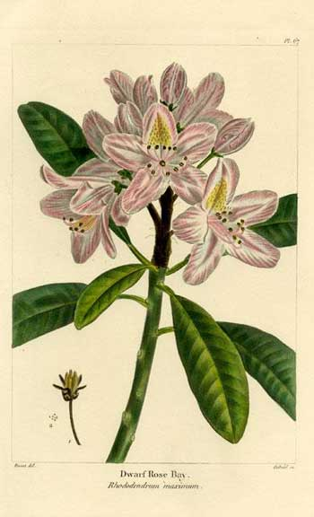 Dwarf Rose Bay Rhododendrum, 1850