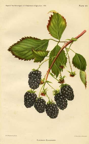 Eldorado Blackberry, 1892