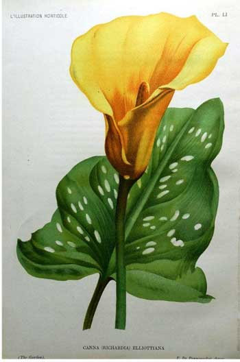 Golden Calla Lily, 1896