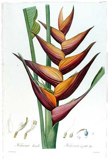 Heliconia humilis / Dwarf Heliconia, 1802