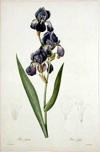 Iris plicata / Pleated Iris, 1802