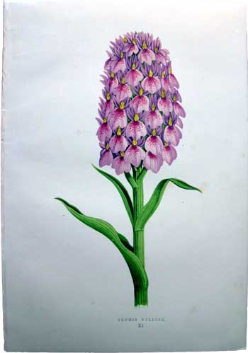 Orchis Foliosa / orchid