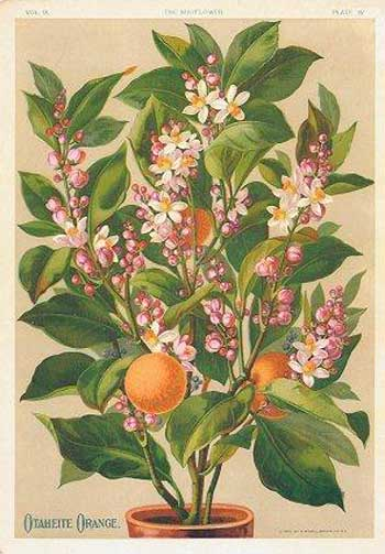 Otaheite orange tree, 1890