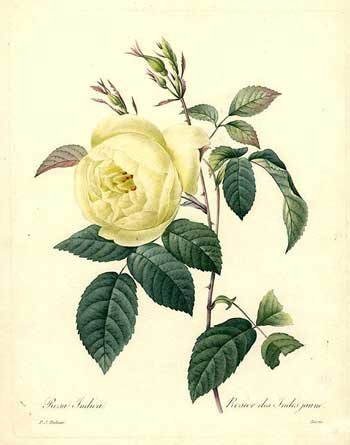 Rosier des Indes jaune [Hume's Blush Tea-scented China, 1833