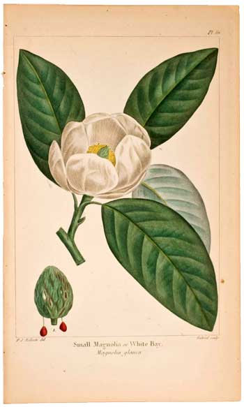 Small Magnolia or White Bay, 1854