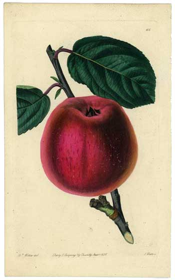 Summer Pearmain Apple, 1828