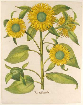 Flos Solis Prolifer / sunflower, 1713