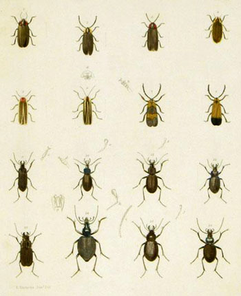 Color Plate of Beetles