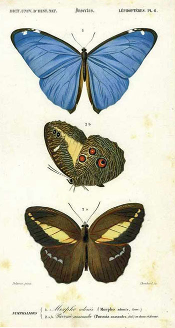 Nymphalides 1. Morpho 2. Pavonic from the Dictionaire Universelle d'Histoire Naturel