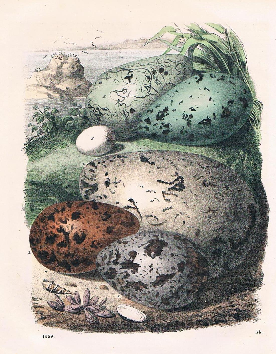 Eggs of Sea Birds