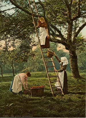Apple picking, unknown location