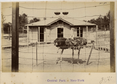 Ostriches at the Central Park Zoo 1890