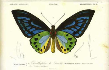 Papillonides I. Ornithoptere de Durville from the Dictionaire Universelle d'Histoire Naturel