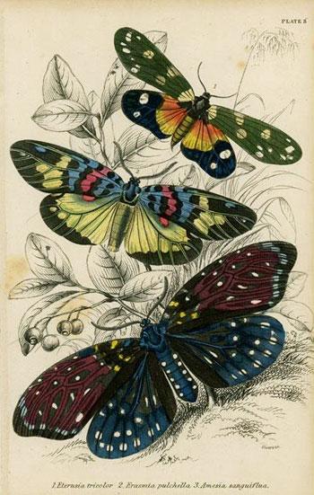 Eterusia Tricolor, Erasmia Pulchella, Amesia Sanguiflua