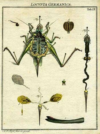 Locusta Germanica