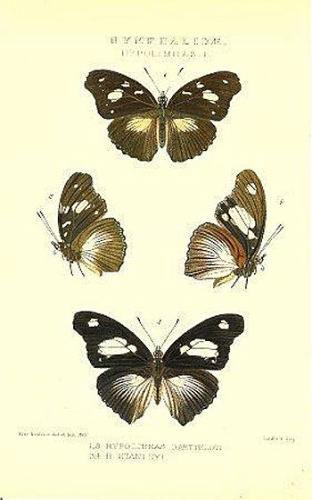 Nymphalidae. Hypolimnas I. 1,2. Hypolimnas Bartteloti. 3,4. Stanleyi