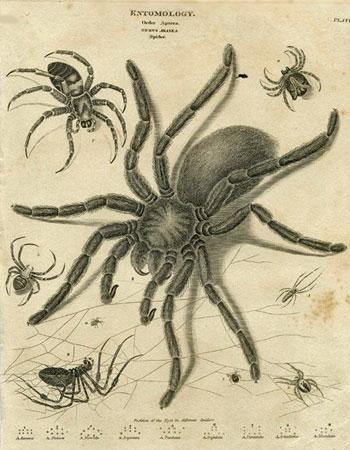 Entomology. Order Aptera. Genus Aranea.
